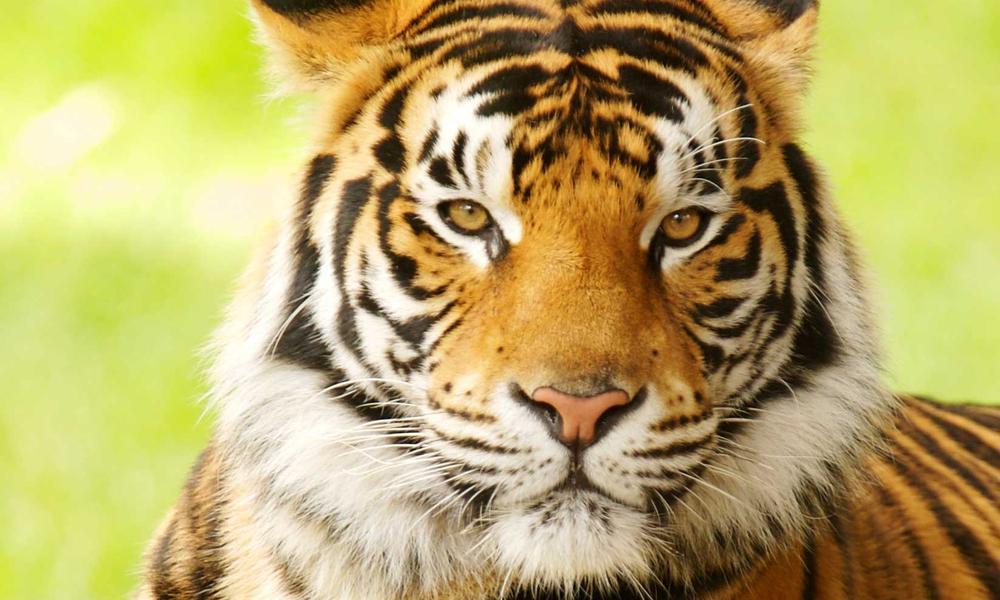 Indian Wild Cat